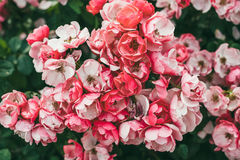 Small petite roses in garden royalty free stock images
