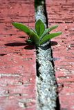 Small Petunia. Plant trying to grown in the brick of a planter stock images