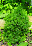 Small Picea glauca 'Conica'. Young Sapling. Royalty Free Stock Photo