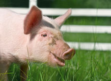 Small pig. On a grass Royalty Free Stock Photos