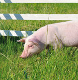 Small pig Royalty Free Stock Images