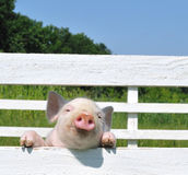 Small pig. On a grass Stock Photo