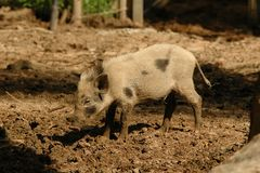 Small pig Stock Photos