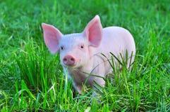 Small pig Royalty Free Stock Photo