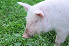 Small pig Royalty Free Stock Photography