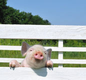 Small pig. On a grass Stock Photography