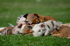 Small Pig. On the grass Royalty Free Stock Photo