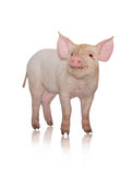 Small pig. Who is represented on a white background Royalty Free Stock Photography