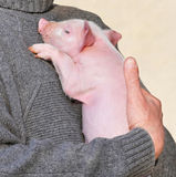 Small pig. On hands at the man Stock Photography