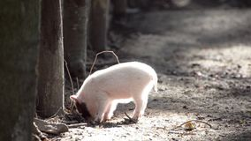 Small pig digging in the ground under trees in the forest stock footage