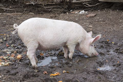 Small pig eats standing in mud. Stavropol Royalty Free Stock Photo