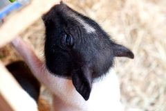 Feeding pig royalty free stock photo