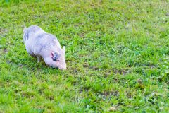 Small pig. On green grass Stock Image