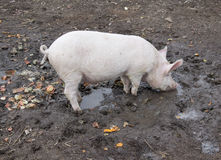 Small pig in mud Royalty Free Stock Image
