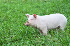 Small pig Stock Images
