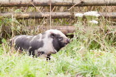 Small pig Royalty Free Stock Photos