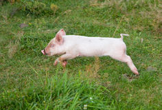 The small pig quickly runs Royalty Free Stock Photos