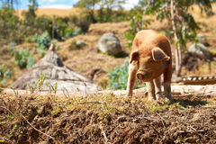 Small Pig Stock Image