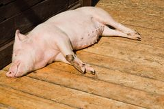 Small pig sleeping on wooden boards in shed on bio piggery farm stock image