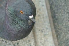 Small pigeon closeup Stock Photo