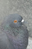 Small pigeon closeup Royalty Free Stock Photos