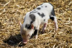 Small piggy with black spots Royalty Free Stock Photos