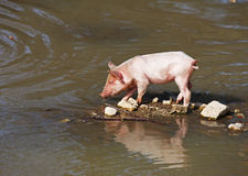 Small piglet Stock Images