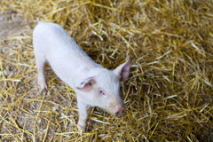 Small Piglet Royalty Free Stock Images