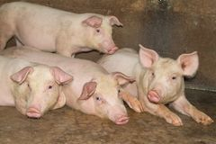 A small piglet in the farm. group of mammal waiting feed. swine in the stall. royalty free stock photo