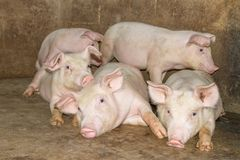 A small piglet in the farm. group of mammal waiting feed. swine in the stall. stock images