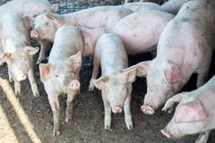 A small piglet in the farm. group of pigs in farm.  Royalty Free Stock Image