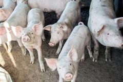 A small piglet in the farm. group of pigs in farm.  Stock Photography