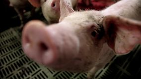 A small piglet in the farm. group of pigs waiting feed. swine in the stall. A small piglet in the farm. group of pigs waiting feed. swine in the stall stock video footage