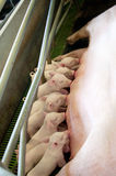 Small piglet feeding Royalty Free Stock Photos
