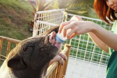 Small Piglet Feeding Milk From Bottle in Hand. stock images