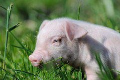 Small piglet on a  grass Royalty Free Stock Photo
