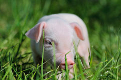 Small piglet on a  grass Royalty Free Stock Photos