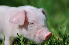 Small piglet on a  grass Royalty Free Stock Image