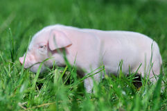 Small piglet on a  grass Stock Images