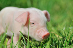 Small piglet on a  grass Royalty Free Stock Images