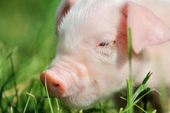 Small piglet on a  grass Stock Photo