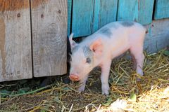 Small piglet running jolly on farm yard. Pink piglet standing on sraw stock images
