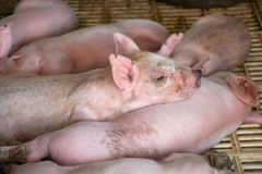 Small piglets sleep in the pig farm.  stock photo