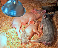 Small Piglets Sleeping Under Heat Lamp Royalty Free Stock Photo