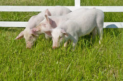Small pigs Stock Image
