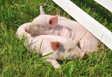 Small pigs Royalty Free Stock Photography