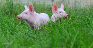 Small pigs Stock Photo
