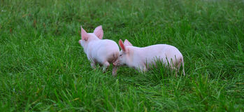 Small pigs Stock Images