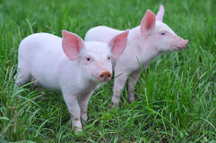 Small pigs Royalty Free Stock Image