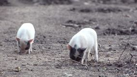 Small pigs dig in the ground stock video footage
